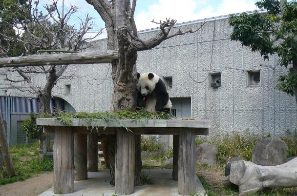panda&sakura@kobeblog11.jpg