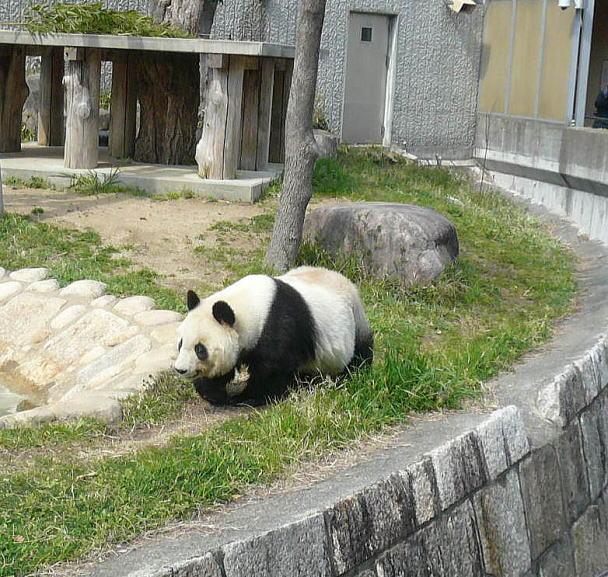 panda&sakura@kobeblog5.jpg